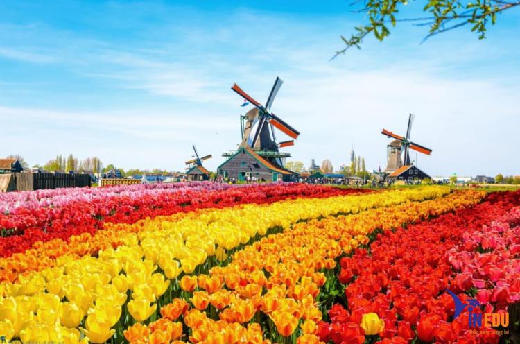 Hoa Tulip biểu trưng của Hà Lan